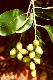 Харитаки (Terminalia chebula) ― называют
