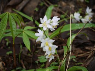 Сафед Мушали (Asparagus adscendens) являются тонизирующим средством и афродизиаком.