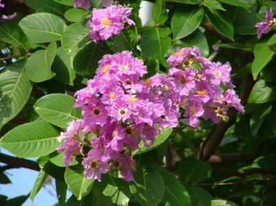 Банаба (Lagerstroemia speciosa) – удивительное растение для контроля сахара крови