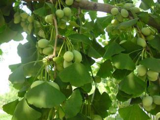 Гинкго билоба – природный ноотроп и реликтовый источник здоровья и бодрости