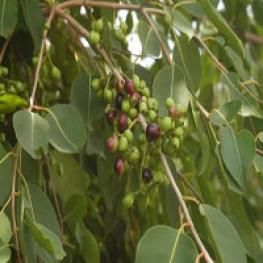Плоды джамболана(Syzygium Cumini или Eugenia jambolana) известны как гипогликемическое средство, они также защищают клетки мозга от повреждения.
