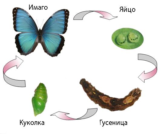 Другой пример плеоморфизма - как гусеницы превращаются в бабочек.