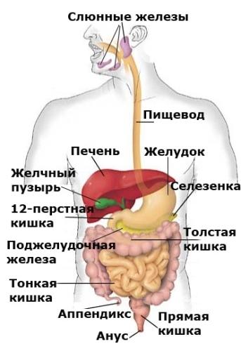 Механизм работы пищеварительной системы