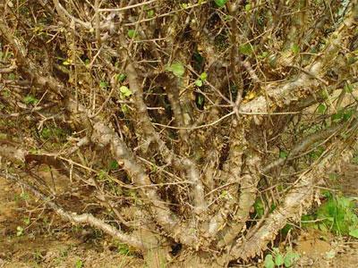 """Гуггул - один из ключевых компонентов в системе аюрведы, входит в """"золотой ряд"""" используемых ею растений."""