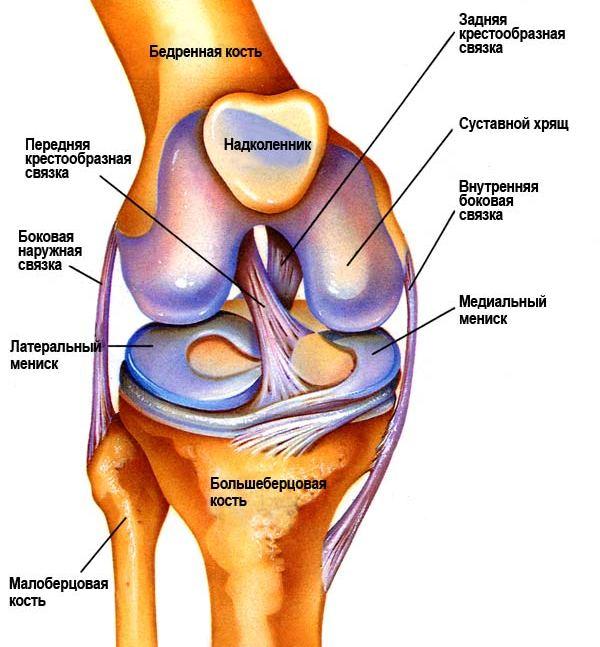 Схема коленные суставы