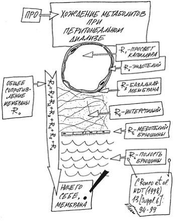 Анатомическое строение перитонеальной мембраны