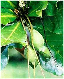Бибхитаки (Terminalia belerica)– острый, кислый и горький плод.
