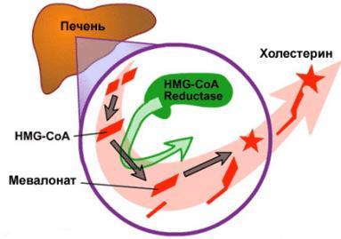 Статины блокируют синтез холестерина в печени