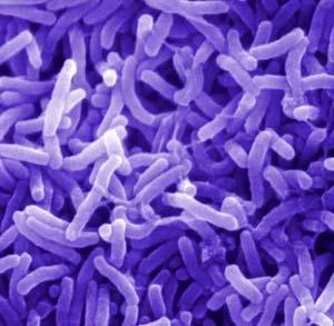 Кишечные бактерии могут вызвать ожирение